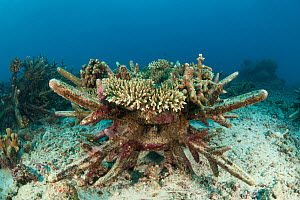 Artificial reef using ceramic snowflakes help rejuvenate the dead coral reefs of El Nido. The 1998 El Nino caused a massive scale coral bleaching to this tourist town that used to have pristine coral... - Jurgen Freund
