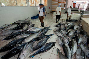 Tuna fish processing plant, Yellowfin or Bigeye tuna caught from longliner boats are graded (high grade for export and low grade for selling to the local market) and processed Benoa, Bali, Indonesia,... - Jurgen Freund