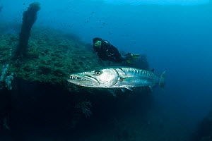 Solitary Great barracuda (Sphyraena barracuda) in the Liberty wreck with diver, Bali, Indonesia, September 2009.  -  Juergen Freund