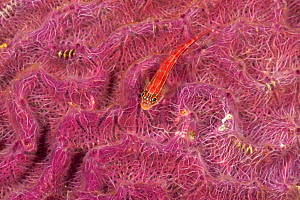 Hard brain coral (Platygyra sp) covered with pink algae and fish, Moluccas Islands, Indo-pacific.  -  Jurgen Freund