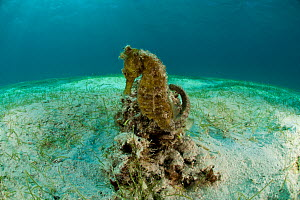 Common / Spotted seahorse (Hippocampus kuda) in the sandy seagrass, Palawan, Philippines, Indo-pacific.  -  Jurgen Freund