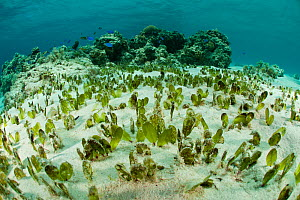Oval seagrass (Halophila ovalis) food for the endangered Dugong, Palawan, Philippines, Indo-pacific. - Jurgen Freund