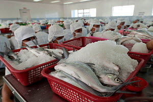 A massive workforce of more than 300 women  debone Milkfish (Chanos chanos) and pack them on ice. 60% for export market, mainly the Filipino communities living in North America and 40% consumed locall...  -  Jurgen Freund