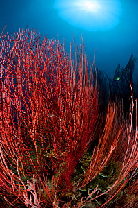 Red whip corals / sea whips (Ellisella sp) Kimbe Bay, Papua New Guinea, Indo-pacific.  -  Jurgen Freund