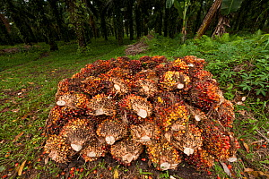 Palm fruits (Elaeis quineesis Jacq) red and yellow fruit bunches are piled high ready for the mill trucks to pick up. New Britain Palm Oil Limited, West New Britain, Papua New Guinea, May 2010. - Jurgen Freund