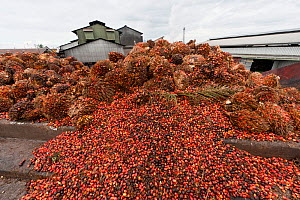 Red and yellow fruits of palm oil (Elaeis quineesis Jacq) ripe with oil ready to be processed in the mill for oil extraction. New Britain Palm Oil Limited, West New Britain, Papua New Guinea, May 2010...  -  Jurgen Freund