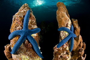 Blue linkia starfish (Linckia laevigata) pair attached to the dead part of coral, New Ireland, Papua New Guinea  -  Jurgen Freund