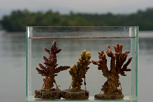 Cultured corals are propagated by cutting fragments of corals from mother colonies or brood stock. These coral pieces are attached to concrete mounts until they grow into a new colony, Onma Lodge, Kol...  -  Jurgen Freund