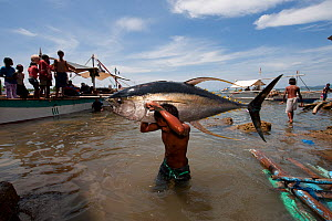 Dock worker carrying Yellowfin tuna ashore for weighing, Jacana tuna fish landing, Puerto Princesa, Palawan, Philippines, April 2009  -  Jurgen Freund