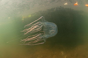 Box jellyfish (Chironex sp) amongst mangrove roots, Palawan, Philippines. - Jurgen Freund