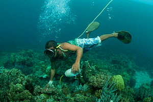 Cyanide fisherman applying cyanide to coral crevices to stun fish. This is highly damaging fishing practice to catch live reef fish either for the aquarium or food fish trade. Palawan, Philippines, Ap... - Jurgen Freund