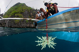 Diver lowering an artificial reef made of ceramic snowflakes to help rejuvenate the dead reef of El Nido. The 1998 El Nino caused a massive scale coral bleaching to this tourist town that used to have... - Jurgen Freund