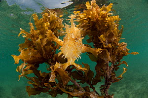 Sargassum frogfish / anglerfish (Histrio histrio) in its floating Sargassum seaweed home, El Nido, Palawan, Philippines - Jurgen Freund