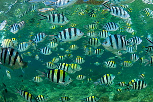 Sergeant major damselfish (Abudefduf vaigiensis), Parrotfish and Wrasses in the house reef of Miniloc Island Resort, El Nido, Palawan, Philippines. These fish come together densely when bread is throw... - Jurgen Freund
