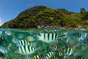 RF- Sergeant major damselfish (Abudefduf vaigiensis), Parrotfish and Wrasses at the house reef of Miniloc Island Resort, El Nido Island, Palawan, Philippines, May 2009. These fish gather in a dense ma...  -  Jurgen Freund