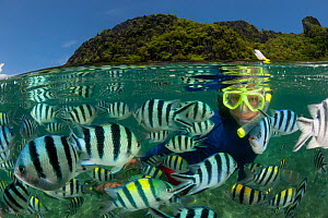 Snorkeler swims amongst Sergeant major damselfish (Abudefduf vaigiensis) at the house reef of Miniloc Island Resort, El Nido Island, Palawan, Philippines, May 2009. These fish gather in a dense mass w... - Jurgen Freund