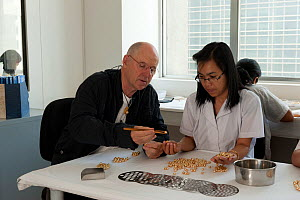 Jacques Branellec, owner of Jewelmer, examines cultured golden South Sea pearls with a pearl worker, Manila, Philippines, April 2010  -  Jurgen Freund