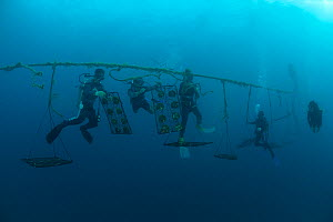 Jewelmer Pearlfarm, divers check on cleaned Pearl oysters (Pinctada maxima) in hanging nets in the open sea, Palawan, Philippines, May 2009  -  Jurgen Freund