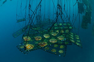 Jewelmer Pearlfarm, newly cleaned Golden South Sea Pearl oysters (Pinctada maxima) in hanging cages, waiting to be relocated to the open sea, Palawan, Philippines, May 2009  -  Jurgen Freund