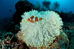 Clown anemonefish (Amphiprion percula) on bleached coral, Komodo NP, Indonesia, Indo-pacific. - Jurgen Freund