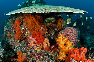 Many spotted sweetlips (Plectorhinchus chaetodonoides) and other fish under table coral on a healthy coral reef, Komodo NP, Indonesia, Indo-pacific.  -  Jurgen Freund