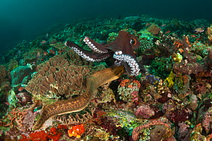 Reef octopus (Octopus cyanea) foraging on coral reef when a Moray eel comes out for a surprise attack, Komodo NP, Indonesia, Indo-pacific.  -  Jurgen Freund