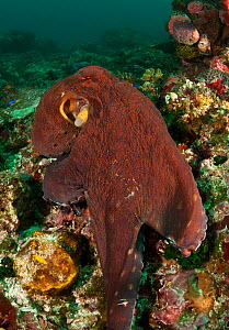 Reef octopus (Octopus cyanea) foraging on coral reef, Komodo NP, Indonesia, Indo-pacific.  -  Jurgen Freund