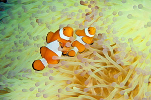 Clown anemonefish (Amphiprion percula) amongst tentacles of bleached coral, Komodo NP, Indonesia, Indo-pacific.  -  Jurgen Freund