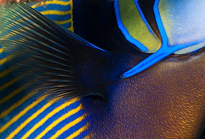 Detail of Emperor angelfish (Pomacanthus imperator) Bali, Indonesia, Indo-pacific  -  Jurgen Freund