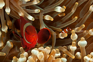 Spine-cheek anemonefish (Premnas biaculeatus) with baby amongst anemone tentacles, Bali, Indonesia, Indo-pacific. - Jurgen Freund