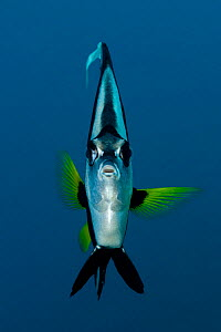 Longfin Bannerfish (Heniochus acuminatus) head on portrait, Bali, Indonesia, Indo-pacific  -  Jurgen Freund