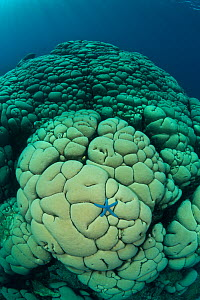 Massive boulder / Cauliflower coral (Gardineroseris planulata) with blue sea star, Buyat Bay, Sulawesi, Indonesia, Indo-pacific. - Jurgen Freund