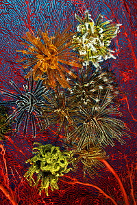 Gorgonian fan coral with crinoids / featherstars, Kimbe Bay, West New Britain, Papua New Guinea - Jurgen Freund