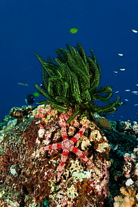 Friant's Sea Star (Nardoa frianti) and crinoid on reef, Kimbe Bay, West New Britain, Papua New Guinea. - Jurgen Freund