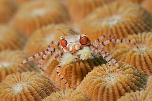 Boxer / Pom pom crab (Lybia tesselata) on coral, Kimbe Bay, West New Britain, Papua New Guinea.  -  Jurgen Freund