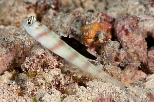 Steinitz' shrimp goby (Amblyeleotris steinitzi) with parasitic nudibranch (Gymnodoris nigricolor) feeding on its dorsal fin, the goby lives in symbiosis with a shrimp who digs a burrow which the goby...  -  Jurgen Freund