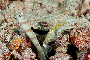 Steinitz' shrimp goby (Amblyeleotris steinitzi) with parasitic nudibranch (Gymnodoris nigricolor) feeding on its dorsal fin, the goby lives in symbiosis with the shrimp who digs a burrow which the gob...  -  Jurgen Freund