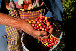 Coffee beans (Coffea arabica) being harvested on the highlands of Maubisse, East Timor, August 2010.  -  Jurgen Freund