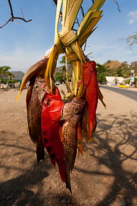 Fresh fish sold by the streets of Dili to passing vehicles and pedestrians, East Timor, August 2010.  -  Jurgen Freund