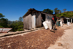 Man raking out coffee beans to dry in the sun, highlands of Maubisse, East Timor.  -  Jurgen Freund