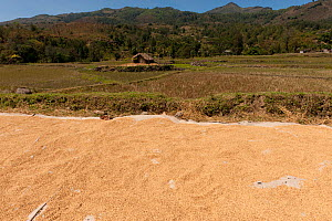 Rice drying beside rice paddies outside of Dili in the more mountainous areas, East Timor, August 2010.  -  Jurgen Freund
