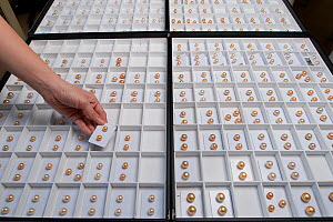 Boxes of cultured Golden South sea pearls from the Jewelmer pearl company, Manila, Philippines, April 2010  -  Jurgen Freund