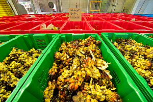 Harvested Palm fruits (Elaeis guineensis) at New Britain Palm Oil Ltd, New Britain, Papua New Guinea, May 2010. Part of the Oil Palm Management Programme tracking the health status and harvesting prog...  -  Jurgen Freund