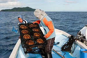 Lifting the Golden South Sea oyster cages to clean the oysters at Jewelmer Pearlfarm, Philippines, May 2009.  -  Jurgen Freund