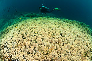 Vast fields of Vase / tiered corals (Echinopora sp) with diver, Sulawesi, Indonesia.  -  Jurgen Freund