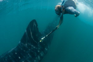 Research scientist tagging Whale shark (Rhincodon typus) as part of study, Donsol, Philippines, April 2010 - Jurgen Freund