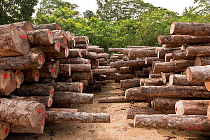 Harvested logs from Kolombangara Forest Products Limited, a certified Forest Stewardship Council timber plantation, Solomon Islands, July 2010.  -  Jurgen Freund