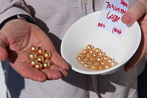 Newly harvested cultured Golden South Sea pearls of Oyster (Pinctada maxima) displayed by  Jewelmer Pearlfarm owner, Jacques Brannelec, Palawan, Philippines, May 2009  -  Jurgen Freund