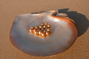 Newly harvested cultured Golden South Sea pearls of Oyster (Pinctada maxima) displayed in oyster shell, Palawan, Philippines, May 2009  -  Jurgen Freund