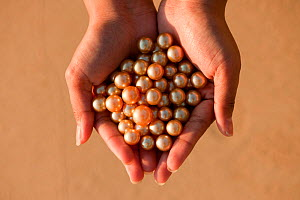 Newly harvested cultured Golden South Sea pearls of Oyster (Pinctada maxima) displayed in hand, Palawan, Philippines, May 2009  -  Jurgen Freund